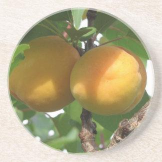 Ripe apricots hanging on the tree . Tuscany, Italy Coaster