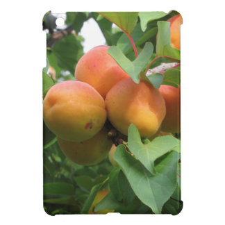 Ripe apricots hanging on the tree . Tuscany, Italy Cover For The iPad Mini