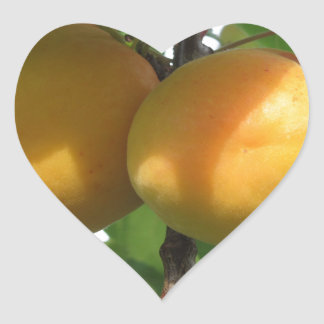 Ripe apricots hanging on the tree . Tuscany, Italy Heart Sticker