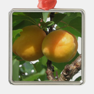Ripe apricots hanging on the tree . Tuscany, Italy Metal Ornament