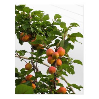 Ripe apricots hanging on the tree . Tuscany, Italy Postcard