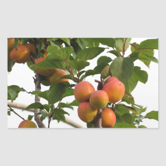 Ripe apricots hanging on the tree . Tuscany, Italy Rectangular Sticker