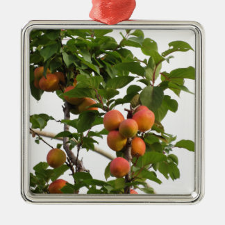 Ripe apricots hanging on the tree . Tuscany, Italy Silver-Colored Square Decoration