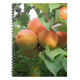 Ripe apricots hanging on the tree . Tuscany, Italy Spiral Notebook
