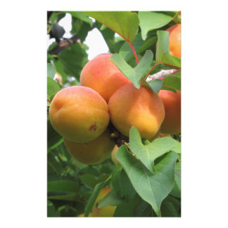 Ripe apricots hanging on the tree . Tuscany, Italy Stationery
