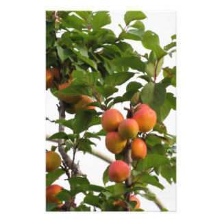 Ripe apricots hanging on the tree . Tuscany, Italy Stationery Paper