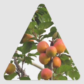 Ripe apricots hanging on the tree . Tuscany, Italy Triangle Sticker