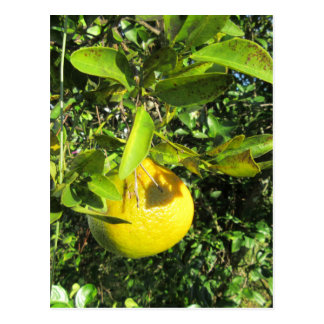 Ripening Citrus Postcard