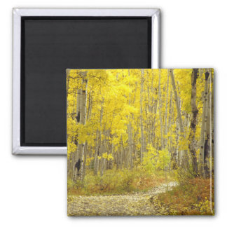 Road with autumn colors and aspens in Kebler 2 Square Magnet