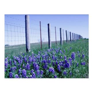 roadside bluebonnets postcard