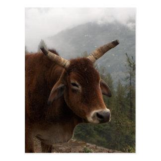 Roadside cow postcard