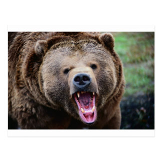 Roaring Grizzly Bear Postcard