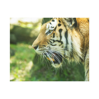 Roaring Tiger Canvas Prints