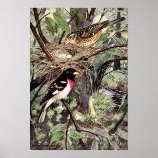 Robert Bruce Horsfall - Rose-Breasted Grosbeak Poster