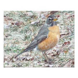 Robin in the grass 20 by 16 print photographic print