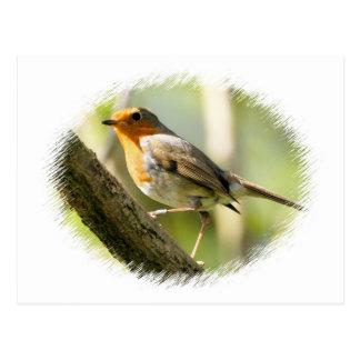 Robin Wild-life Bird Post Cards