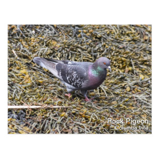 Rock Pigeon Postcard