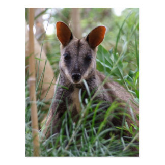 Rock Wallaby postcards Postcard