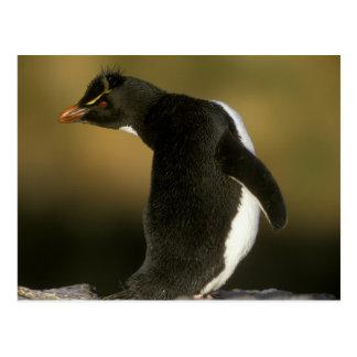 Rockhopper Penguin, Eudyptes chrysocome), Postcard