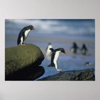 Rockhopper Penguins, Eudyptes chrysocome), Poster