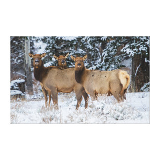 Rocky Mountains, Wyoming. Elk (Cervus Elaphus) Canvas Print