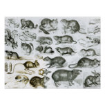 Rodentia-Rodents or Gnawing Animals Poster