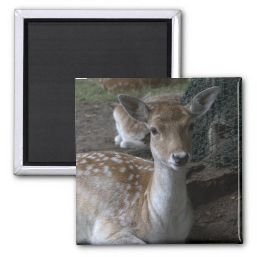 Roe deer magnet
