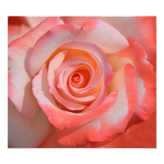 Romantic Red and White Rose photo print