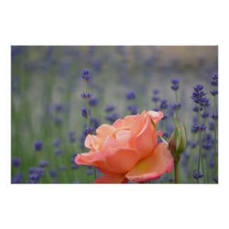 Romantic Rose and Lavender Poster