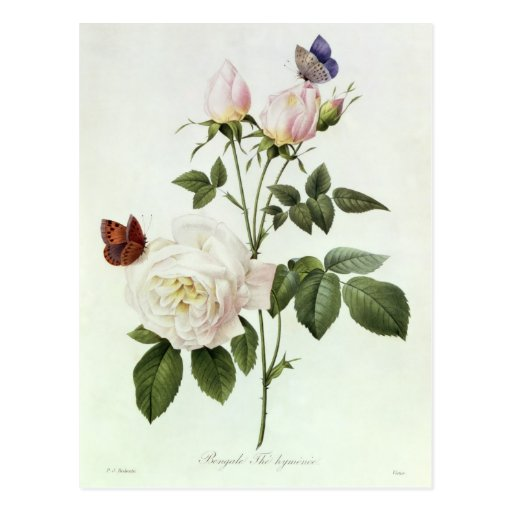 Rosa: Bengale the Hymenes Postcards