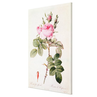 Rosa Bifera Officinalis, from 'Les Roses' Canvas Print