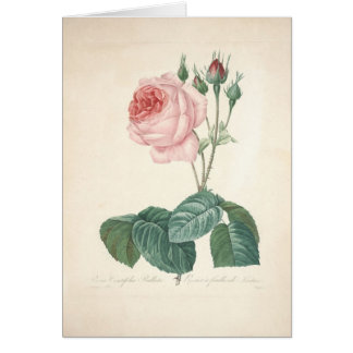Rosa Centifolia Bullata by Redoute - Sympathy Card