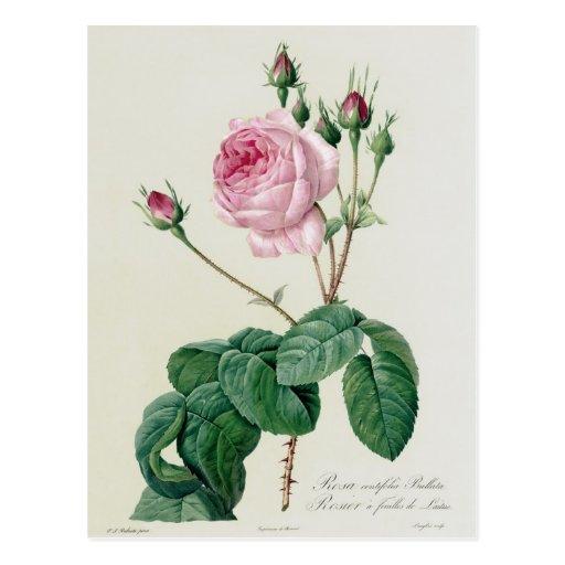 Rosa Centifolia Bullata Post Card