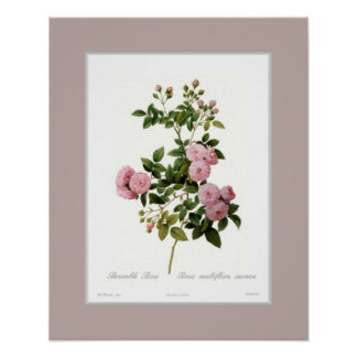 Rosa multiflora,Custom border Poster
