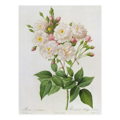 Rosa Noisettiana, from'Les Roses' Postcards