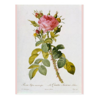 Rose Botanical Print Rosa Bifera by  Redoute Postcard