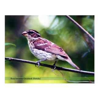 Rose-breasted Grosbeak Postcard