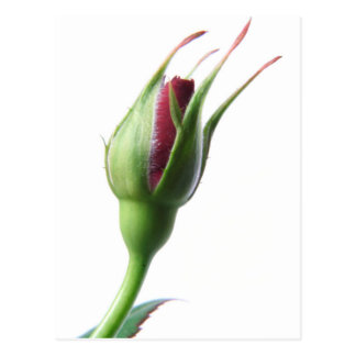 Rose Bud Post Card