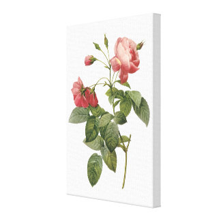 rose by Redouté Canvas Print