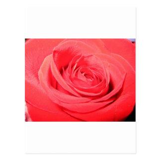 rose,deep pink rose postcard