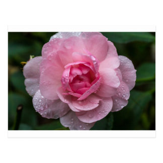Rose drops postcard