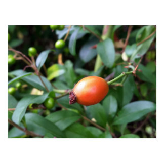 Rose hip ripen postcard