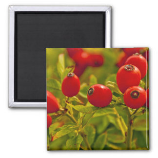 Rose Hip Square Magnet