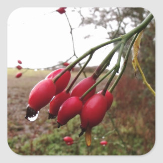 Rose Hips And Rain Square Sticker