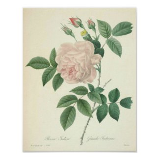 Rose Indica by Redoute Poster