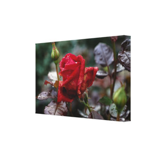 Rose Love Canvas Print