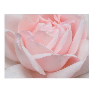 Rose Petals Postcard