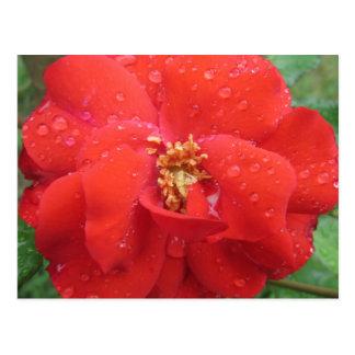 Rose Red Water Bloom Postcard