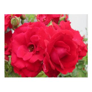 Rose Rouge Fleur Postcard