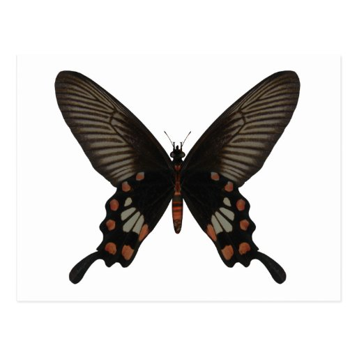 Rose Swallow Tail Butterfly Postcards